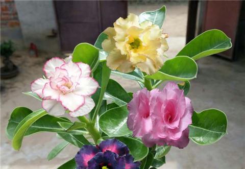 沙漠玫瑰的养根技巧,根茎粗壮,开花又大又艳!