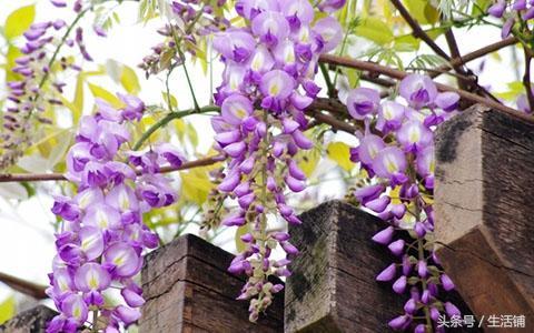 5种适合庭院种植的爬藤植物,美的让人欲罢不能