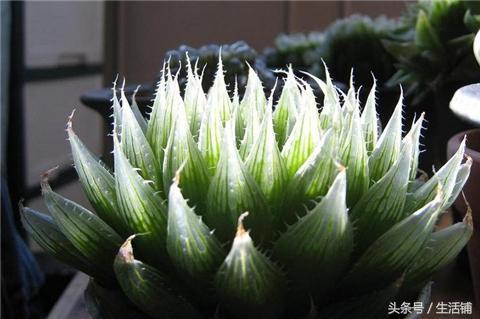22种十二卷多肉植物,大自然的鬼斧神工