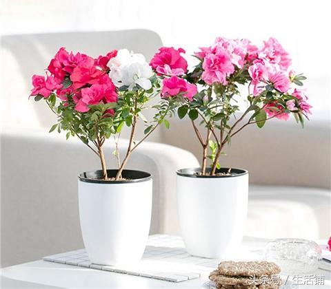 杜鹃花不开花怎么办,3个技巧就蹭蹭地开花了!