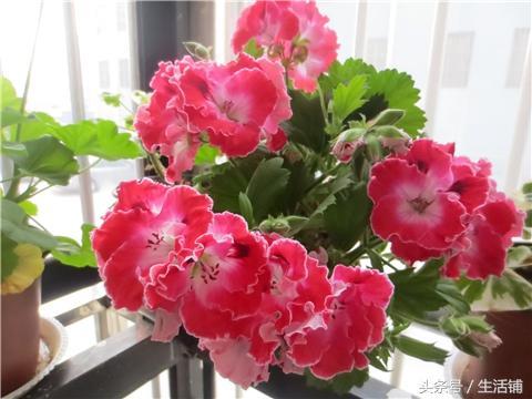 天竺葵开花养护2大技巧,开花繁茂就靠它!