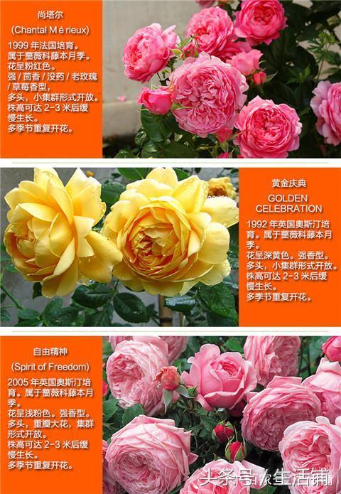 爬藤月季图片鉴赏(二),花色丰富,姿态各异!