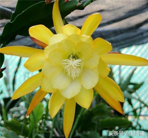 这种花品种繁多,花似睡莲,开花比蟹爪兰好看!