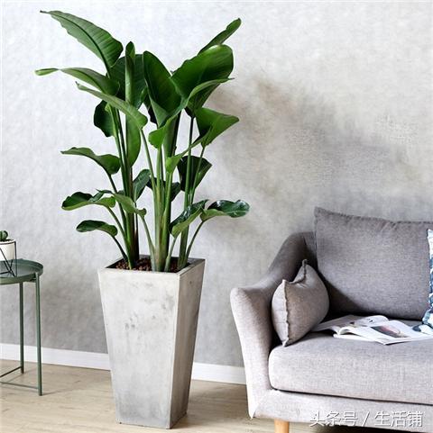 这种大型绿植盆栽,花似仙鹤,叶大姿美!
