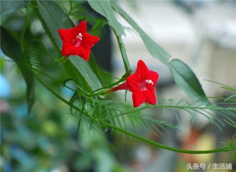 这种爬藤植物花叶俱美,理想的绿篱植物!
