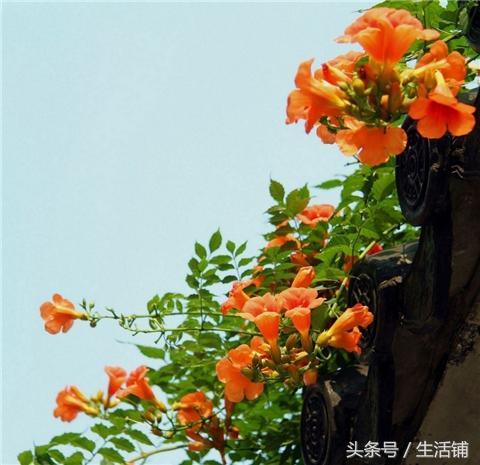 推荐6种爬藤植物,庭院种植美成画!