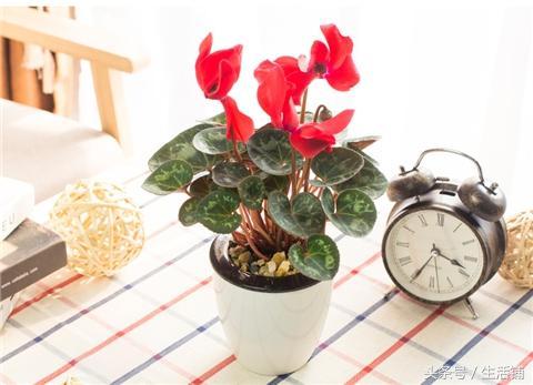养一盆仙客来,花叶兼美,让家里充满喜气!