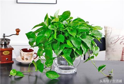 这5种植物很适合新手懒人,放水里养几乎不死!