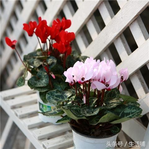 冬天室内不断开花的花,花形别致,娇艳夺目!