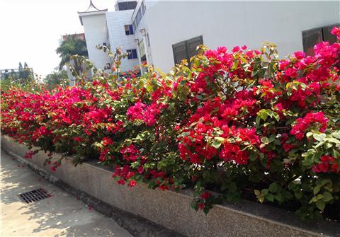 三角梅咔嚓两三刀,花朵窜满枝,枝繁叶茂!