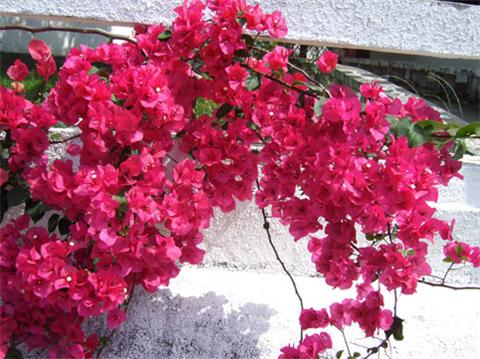 这7种花爬满阳台,养成一片小花海!