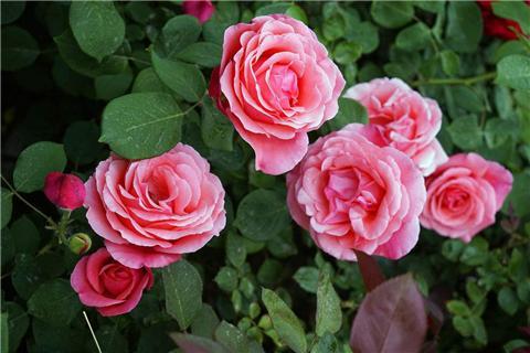 这4种花开花做好这一步,花大叶绿,枝条强壮!