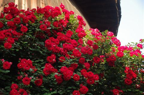 养这5种爬藤花卉,花开成簇太美了,养一盆爬满阳台!