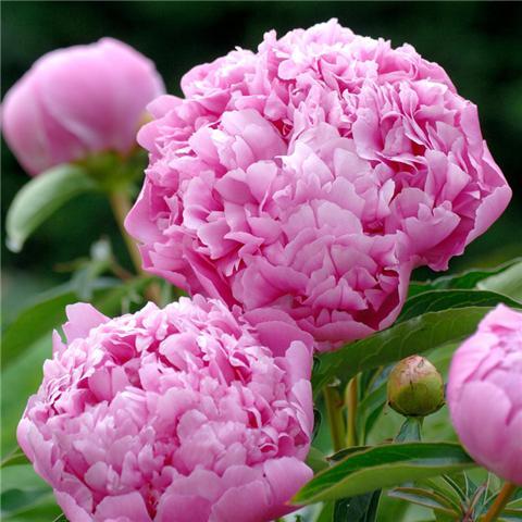 这5种盆栽花卉花大色艳,好看又容易爆盆!