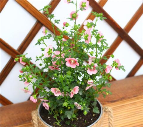 推荐5种花期超长的盆栽花卉,开花漂亮好养活!
