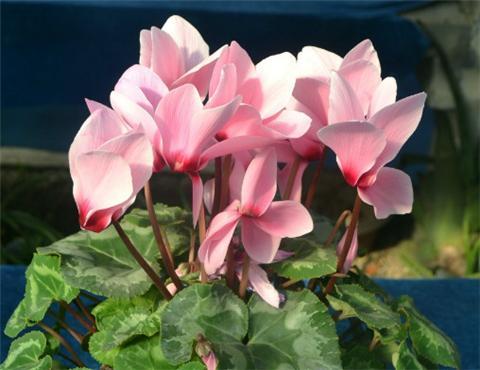 这7种花,叶子上千万别喷水,一喷就死翘翘!