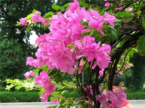 三角梅茉莉花用这1招,花开满枝,花期超长!
