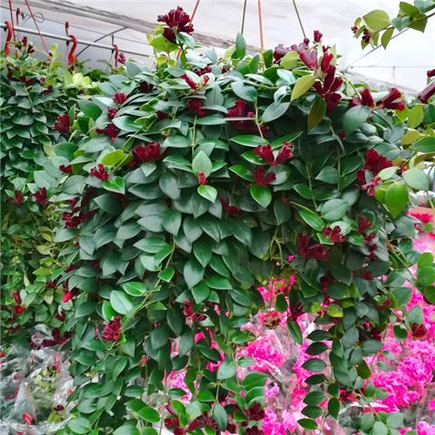 这4种植物能养成瀑布一样,变成花窗帘!