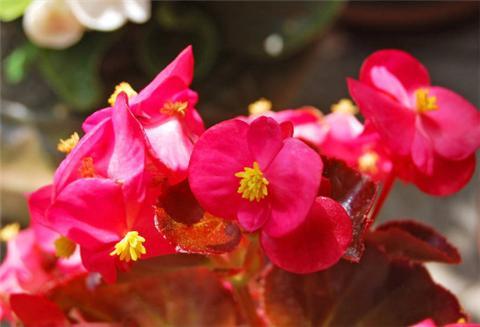 这4种花超耐阴,放在阴凉地方,也能长爆盆!