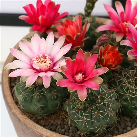 这3种花越不浇水越爆盆,适合新手懒人养!