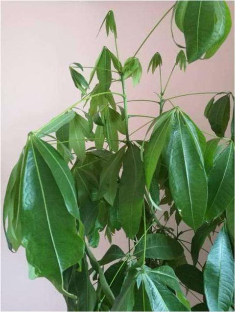 发财树叶子下垂,教你4招,叶子油绿猛长个!