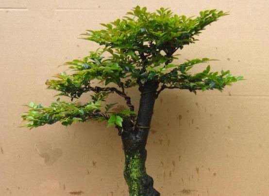 小叶紫檀的特点,是一种相对高大的乔木