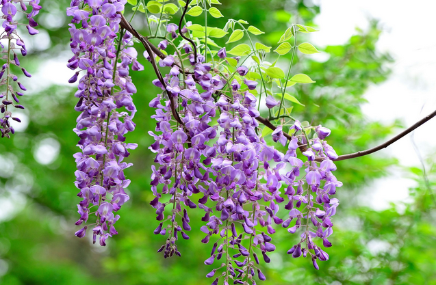 紫藤修剪 主枝发生了病害,需要及时修剪