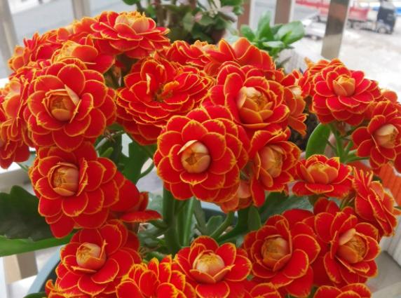 长寿花的花语