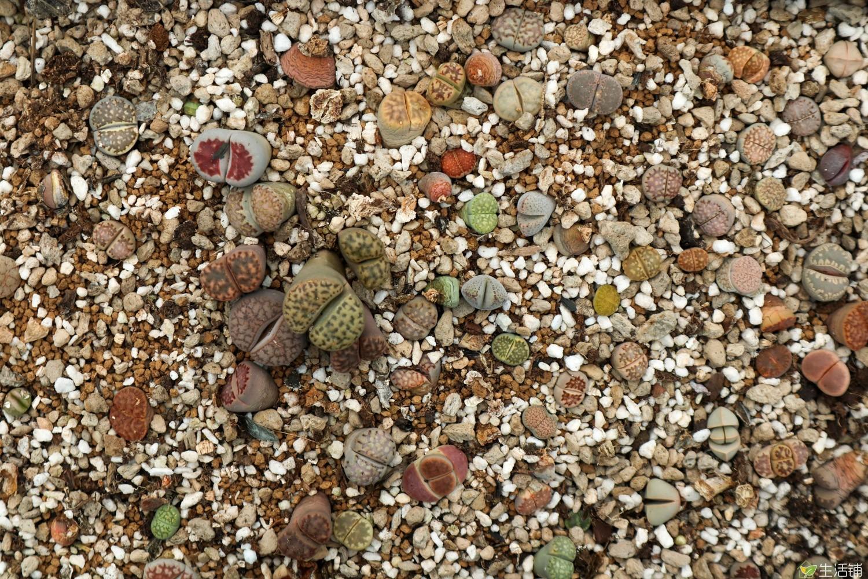 夏天生石花怎么养?浇水是关键