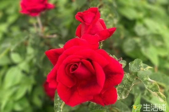 认识玫瑰花,花朵颜色很丰富