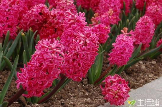 风信子可以开几次花 在2月~3月份开花