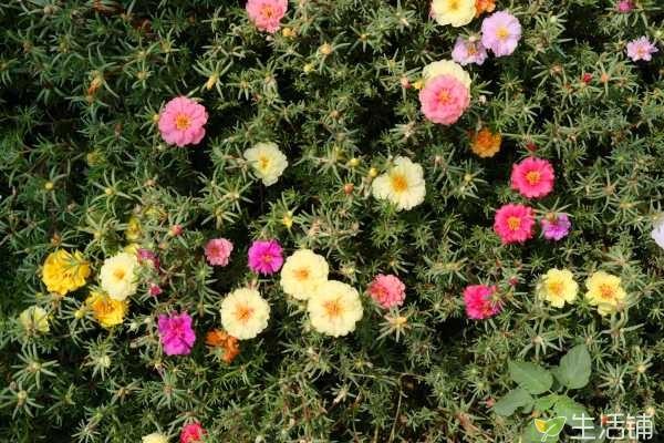 太阳花冬天会开花吗,花期会持续到10月份