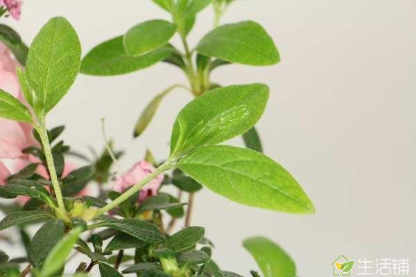 杜鹃如何养殖,使用呈酸性的土壤