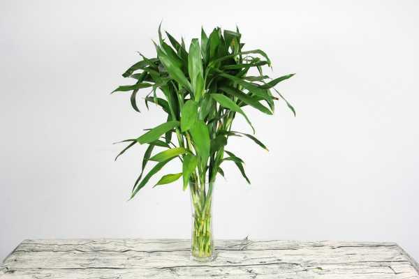 富贵竹有毒吗 没有毒性,不会对人体有伤害