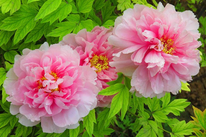 中国十大名花之首竟然是它?十大名花都有谁