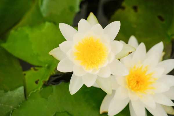 睡莲的养殖方法和注意事项 水深可控制在三十至五十厘米
