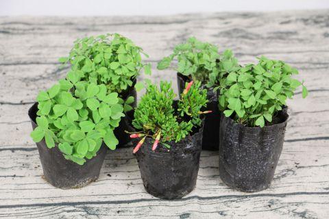 酢浆草黄叶的原因和处理办法,原因主要有三种