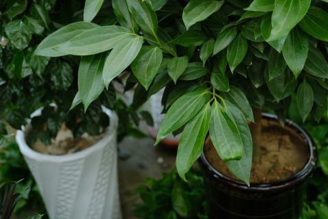 平安树的叶子发皱,教你4招,绿油油长高个