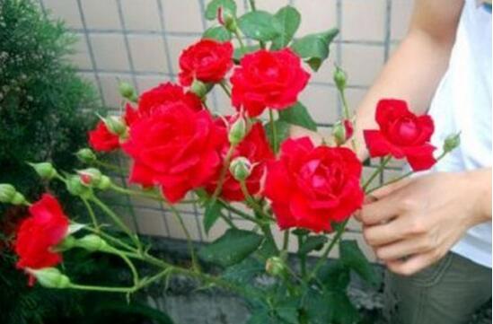 怎么延长玫瑰花的花期,养护得当可延长1个月