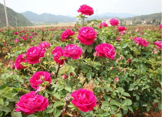 玫瑰花的养护方法,浇水要把控需水量