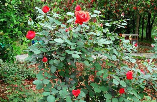 玫瑰花期是哪几个月?一年能开几次花