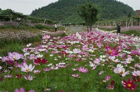 格桑花的种植方法,首先需要用清水浸泡种子