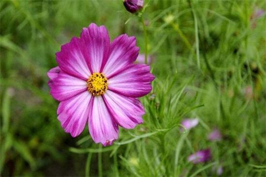 格桑花怎么种,在成熟季节选取优良的种子