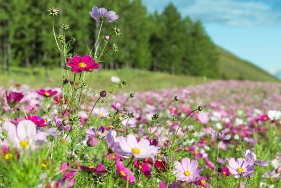 格桑花的花期,七八月份为最佳观赏时期