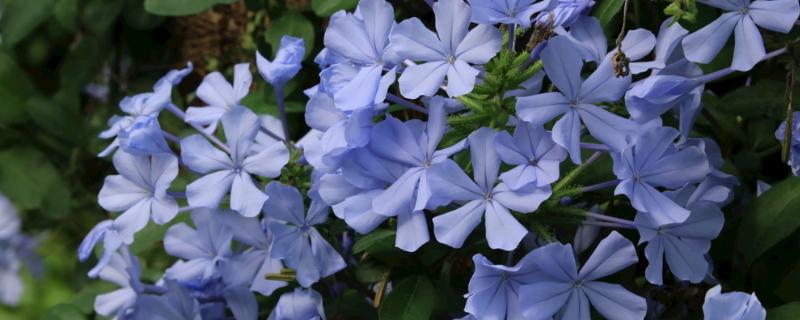 蓝雪花木质化要剪掉吗?需要修剪,能促进新枝叶的萌发