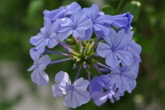 蓝雪花扦插图解,挑选健康的枝条修短为8厘米左右