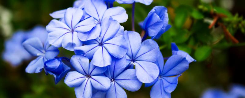 蓝雪花的花期,在每年的4~9月份