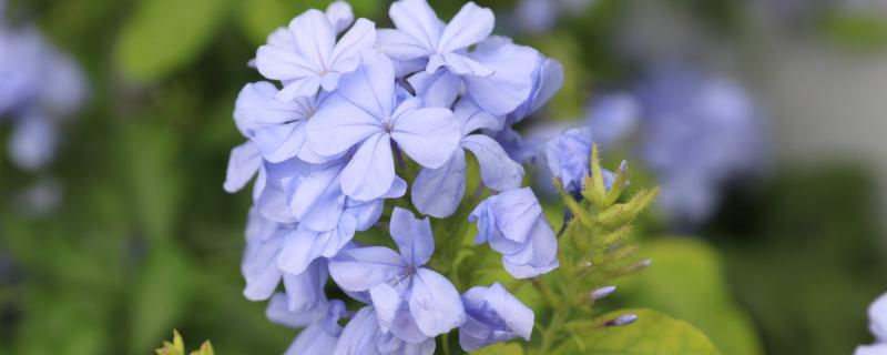 蓝雪花的修剪方法   萌芽期,可以进行摘心打顶