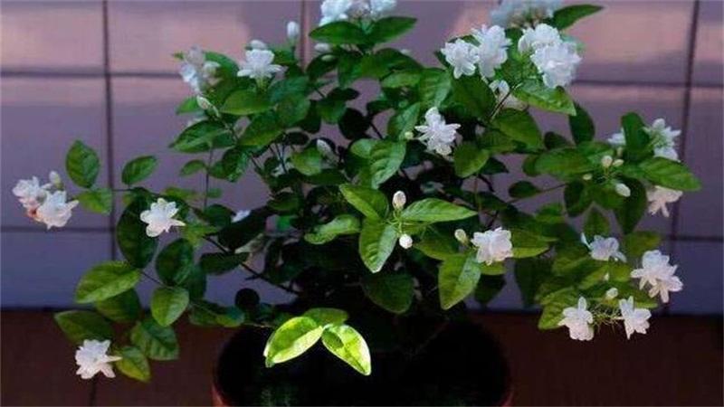 盆栽茉莉花怎么施肥 春夏要每周施肥一次
