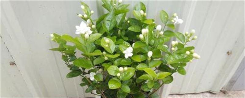 盆栽茉莉花的养殖方法和注意事项 定期对茉莉花进行修剪